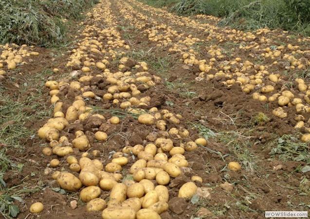 tarla_patates